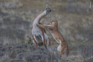 Spojený víťaz kategórie Správanie cicavcov: Puma pri útoku na lamu guanako. Lov skončil neúspešne pre pumu.