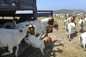 Kozy v akcii.