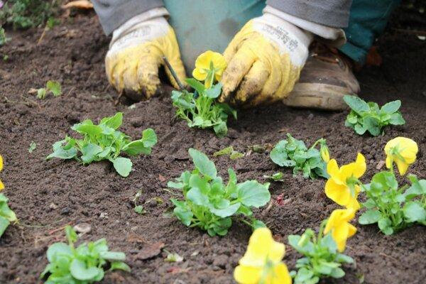 Vysadené kvetiny vykvitnú na jar.