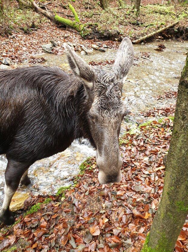 Mláďa losa nájdené neďaleko Mníška nad Hnilcom neprežilo.