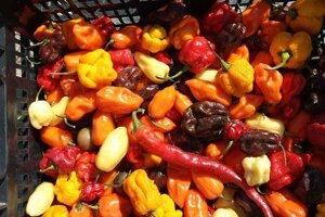 Čili papričky, ktoré pestuje Gabriel Varga