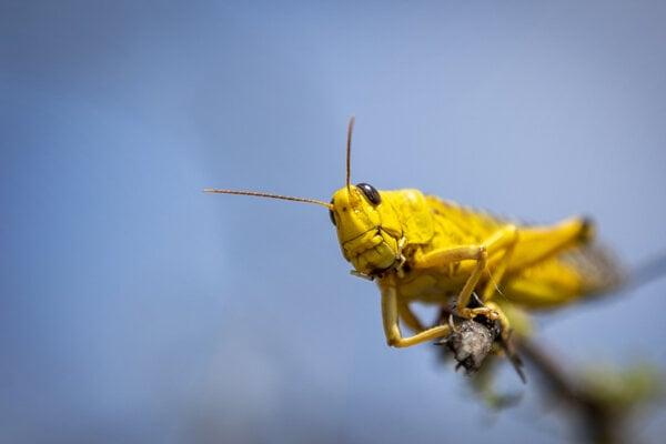Koník kŕdľový, tiež známy ako saranča všežravá, na klase pšenice. Obrovské roje tohto hmyzu pustošia úrodu na východe Afriky.