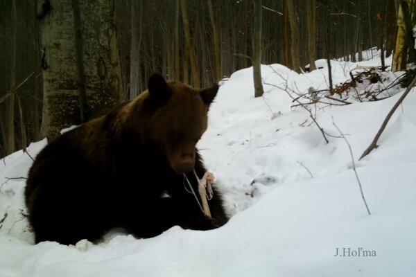 Medvede v tomto období čistia les od kadáverov.