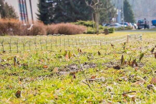 za plotmi sa už začínajú ukazovať prvé tulipány.