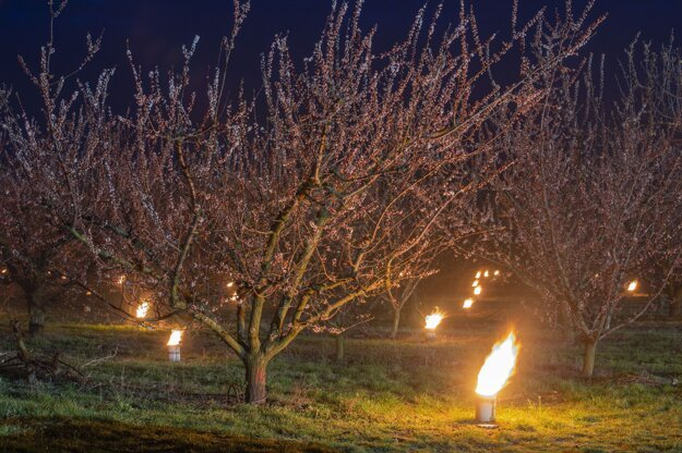Parafínové sviece, ktoré sa používajú na ochranu pred mrazom, horia medzi marhuľami v ovocnom sade neďaleko maďarskej obce Balatonvilgos.