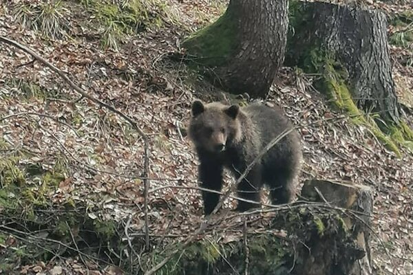 Medvede nedávno odfotografovali pri obci Krahule.