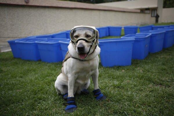 Ilustračná fotografia. Nielen špeciálne vycvičené psy, ale aj bežné chcú zachraňovať ľudí, hovorí nová štúdia.