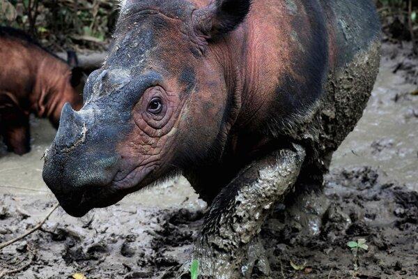 Nosorožec sumatriansky je jedným z najohrozenejších živočíchov na svete. Približne osemdesiat jedincov žije na severe Sumatry.