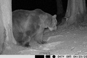 Medveď Števo podľa ochranárov žije a je v dobrej kondícii.