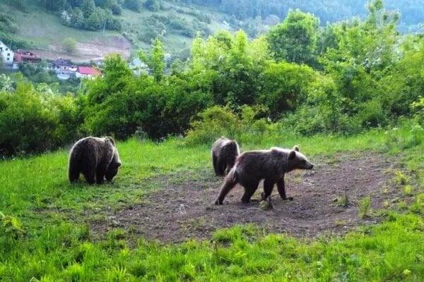 Medvede vČavoji.