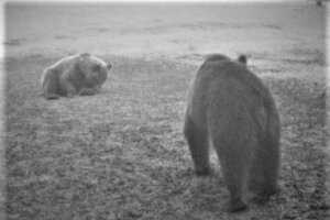 Dvojicu medveďov zachytila fotopasca v lokalite Divínských lazov.