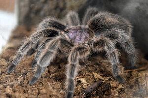 Horský pavúk.