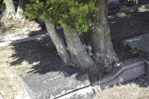 Korene tují vytláčajú betónové obruby aj celé náhrobné kamene.