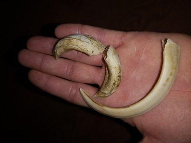 Diviakom (samcom) špiciaky (kly) v hornej a dolnej čeľusti neustále dorastajú, zároveň sa však aj obrusujú. V prípade útoku diviaka ide o veľmi nebezpečné zbrane.