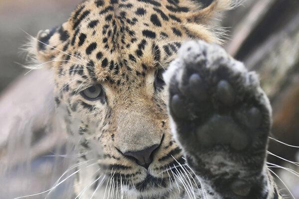 Leopard čínsky v košickej zoo.