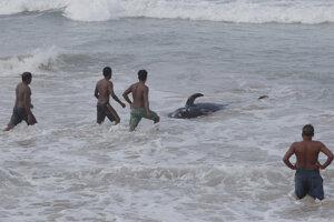 Jeden z delfínov krátkoplutvých uviaznutý na pobreží Srí Lanky.