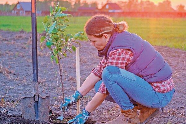 Kontajnerované výpestky môžeme sadiť celoročne. Na jeseň sadíme voľnokorenné stromčeky až po opadaní listov.