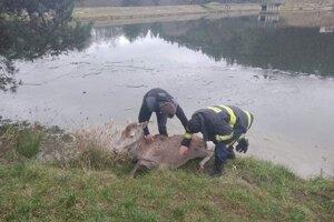 Záchrana jelenice.