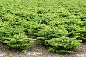 Dánska plantáž jedlí Nordmannových, najobľúbenejších vianočných stromčkov v Európe.
