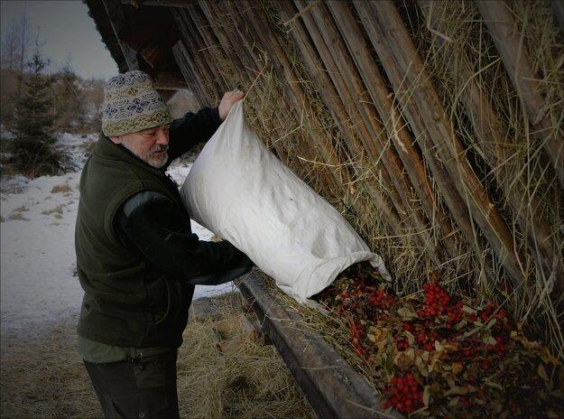 Lesník Stanislav Plško sype do krmelca pre lesnú zver sušenú jarabinu v lokalite Danielov dom vo Vysokých Tatrách.