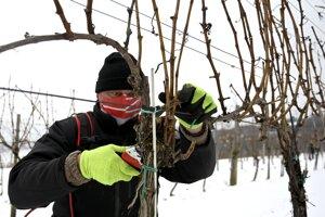 zimný rez v tokajských viniciach.