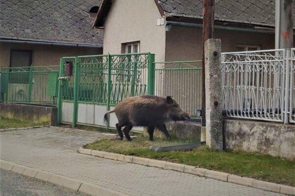 Pochod diviaka Ľuboticami.