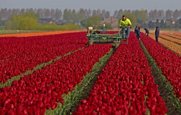 Farmári pracujú na tulipánovom poli v belgickom meste Meerdonk.