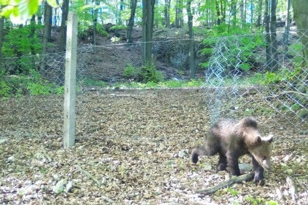 Medveďa zachytili aj v okolí Topoľčianok. Foto je z lesa pri dedine Hostie, vznikla 10. mája.