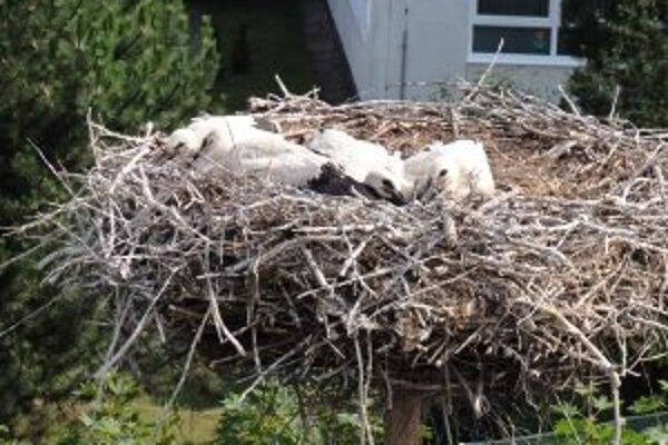 Tieto mláďatá na hniezde v Zlatých Moravciach mali viac šťastia ako mladé z Čiernych Kľačian.