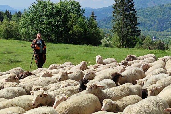 Ovečky vyháňali na pašu o dva týždne neskôr.
