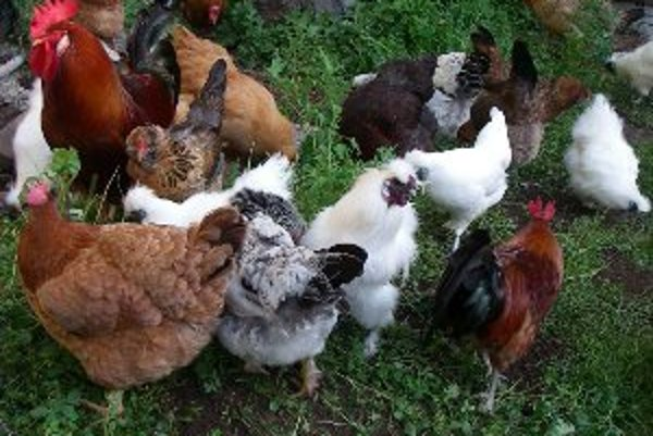 Priemerná sliepka v kraji zniesla 232 vajec za rok.