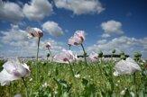 Na poli pri Opoji rozkvitli kvety maku siateho