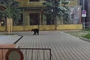 Medveď v nočných uliciach Žiaru nad Hronom.