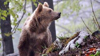 Utekať, či hrať mŕtveho? Čo robiť pri stretnutí s medveďom?