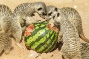 Surikaty vlnkavé sa osviežujú studeným melónom počas horúceho letného dňa v zoologickej záhrade v Bratislave.