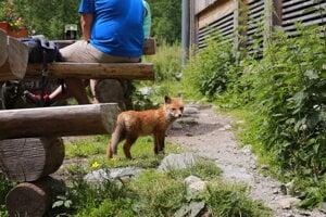 Na Chate pri Zelenom plese sa nedávno usídlila líška aj s mláďaťom.