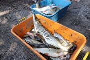 Masový úhyn rýb na rieke Hron spôsobil v pondelok na strednom Pohroní únik digestátu z bioplynovej stanice v obci Budča v okrese Zvolen.