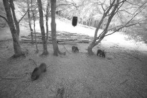 Medvede hľadajú potravu medzi ľudskými obydliami čoraz častejšie.