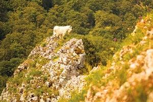 Staré plemená sú zvyčajne veľmi odolné a vhodné na pastvu v náročnom teréne.