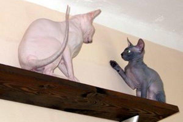 Unikátne mačky Dilys a Alexej žijú v rodine Nagyovcov z Levíc. Ich výhodou je, že po nich majitelia nemusia vysávať vypadanú srsť.