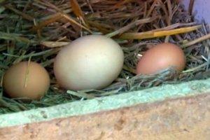 Ktorá sliepka zniesla rekordné vajce, známe nie je