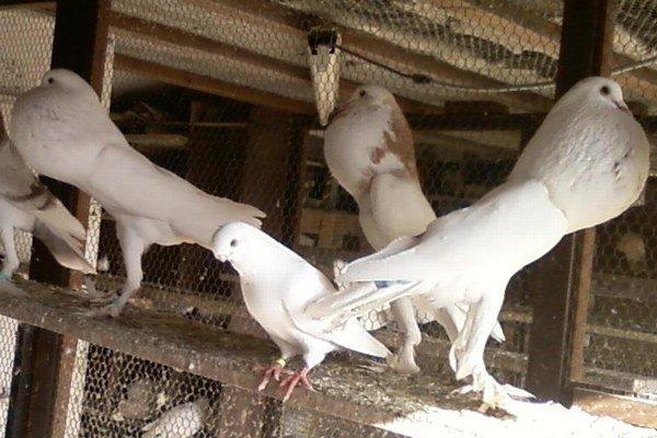 Medzi holubami Jozefa Firica nájdete aj takýto kŕdlik anglických hrvoliakov.