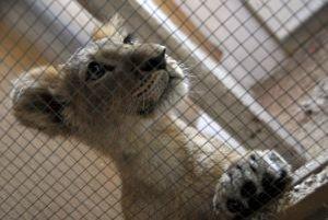 Levíčatá návštevy nedočkavo vyčkávajú.