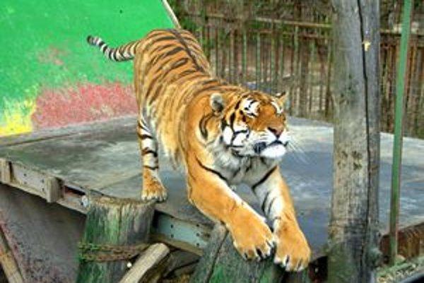 Bez skúseností sa chovateľka tigrov Iveta Iršová odhodlala na ich chov.