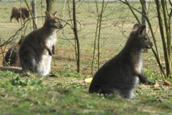 Návštevníci môžu obdivovať aj klokanov.
