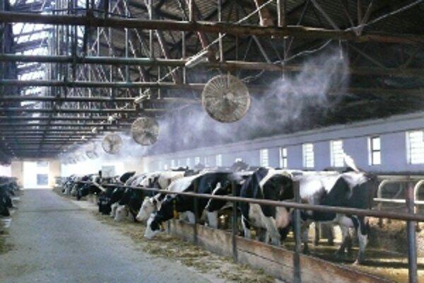 V horúčavách dobytok osviežujú sprchy.