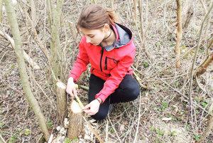 Meraním ohryzov Michaela zistila, že bobor uprednostňuje dreviny s priemerom do päť centimetrov.