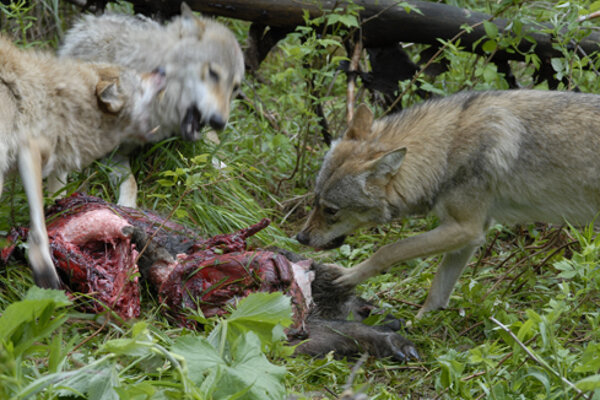 Poľovníci zaznamenali v minulosti viaceré škody spôsobené vlkmi na srnčej, jelenej, diviačej zveri.