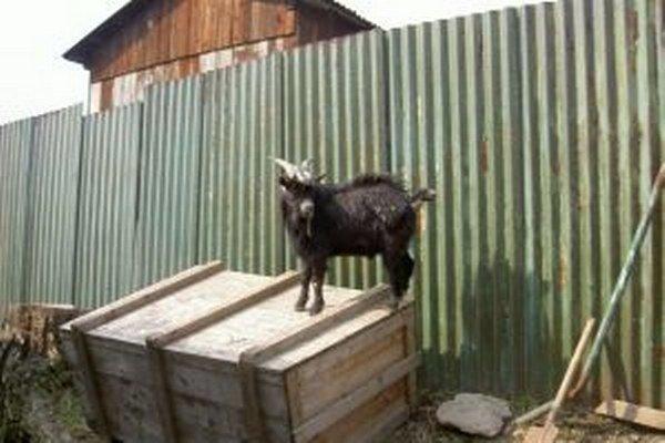 Kamerunské kozy sú už dlhoročnými obyvateľmi starobystrickej minizoo.