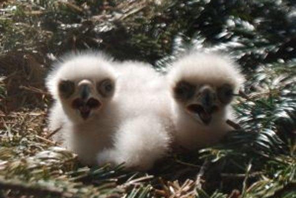 Ochranári pomáhajú orlíčatám prežiť. Vo voľnej prírode má šancu len to najsilnejšie.